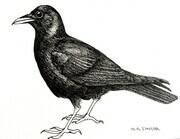 "TAYLOR; ; Crow; ink drawing on paper mounted on wooden cradle, finished with resin; 3"" x 4"""