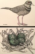 TAYLOR; Killdeer and Her Nest; ink and w/c on paper mounted on wood cradle SOLD